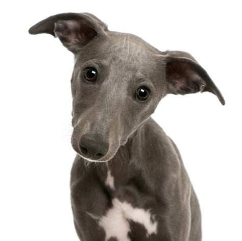 whippet dog breed info stats   petcare