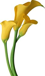 Yellow Calla Lily Images Yellow Flowers Cliparts Co