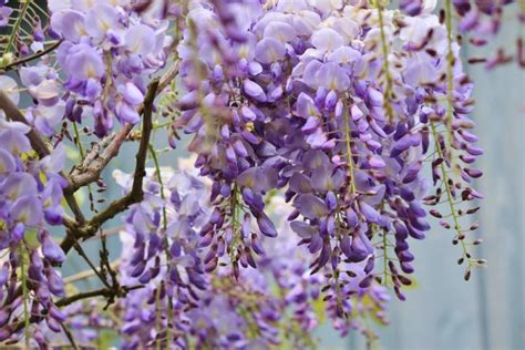 wisteria how to plant grow and care for wisteria plants the old farmer s almanac