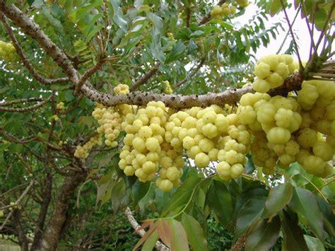 Arbre à Fruits by Caribfruits Surelle Fruits Tropicaux
