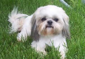 Shih Tzu Going Blind Shih Tzu Pictures Information Training Grooming And