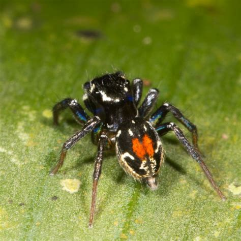 colorful spider colorful jumping spider nature closeups