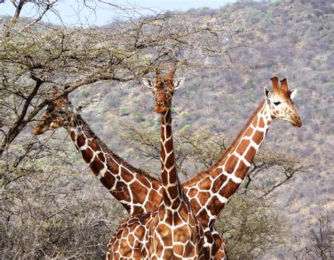 three headed three headed giraffe animals do the funniest things galleries pics daily express