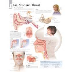 Ear Nose And Throat Scientific Publishing Ear Nose And Throat Chart