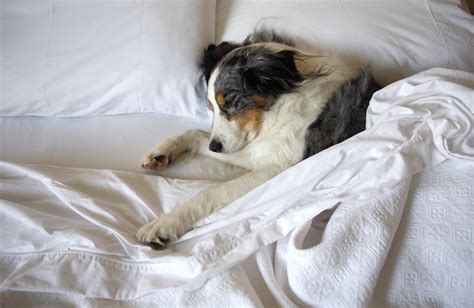 how should puppies sleep the 7 surprising reasons your puppy should sleep on your