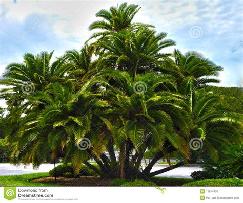 cluster exeter 9 tree hdr palm tree cluster stock photo image of high 15814120