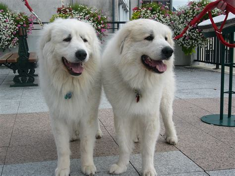 free great pyrenees puppies two great pyrenees dogs wallpapers and images wallpapers pictures photos