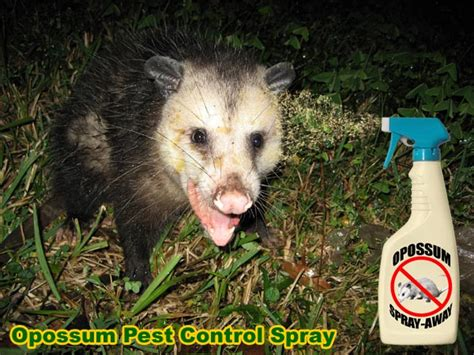 how to get rid of a possum in backyard image gallery opossum or possum