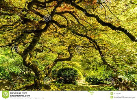 japanese maple tree grotto gardens portland or stock image cartoondealer 22683799