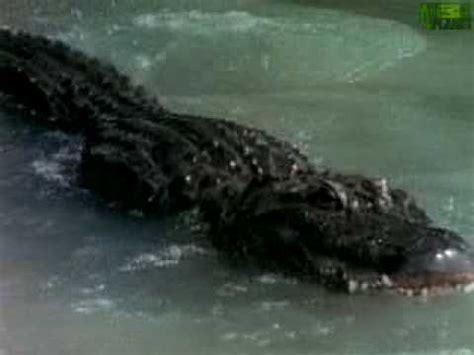 Alligator Black animal alligator vs black