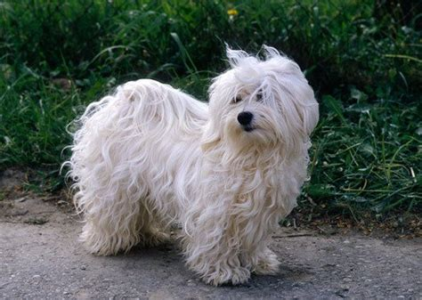 what is a havanese mixed with the 20 mix breeds havanese everythingdogz