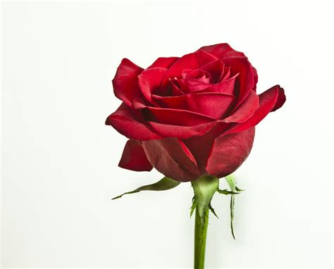 roses images flowers wallpapers