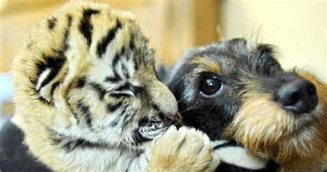 imagenes animales relacionandose amistades peligrosas entre animales de distintas especies
