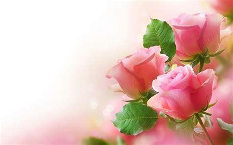 fiore rosa significato rosa rosa significato significato fiori cosa