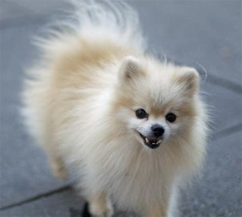 popular pomeranian the pomeranian dogs daily puppy