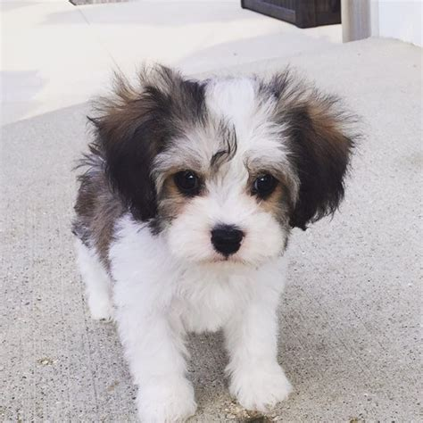 cavachon puppies for sale in michigan www cavachonsbydesign cavachon puppies for sale