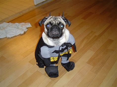 pug batman costume pugs dressed as characters for
