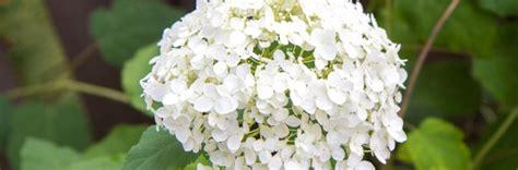 pflege hortensien im garten hortensien im garten arten pflege und standort