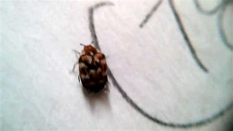 flying bed bugs small flying bugs in bedroom flea control derby pest control service identifying an