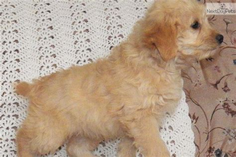 Honey Dew Mini F1b Labradoodle