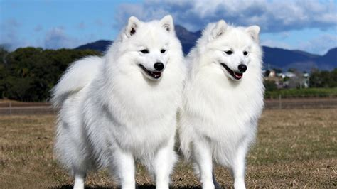 difference between japanese spitz and pomeranian miniature samoyeds mini micro teacup samoyeds