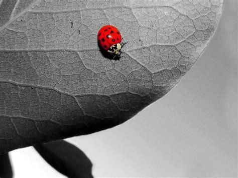 imagenes en blanco y negro con rojo papel de parede joaninha pequena em preto e branco