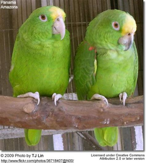amazon owner name name that species with pictures parrot forum parrot