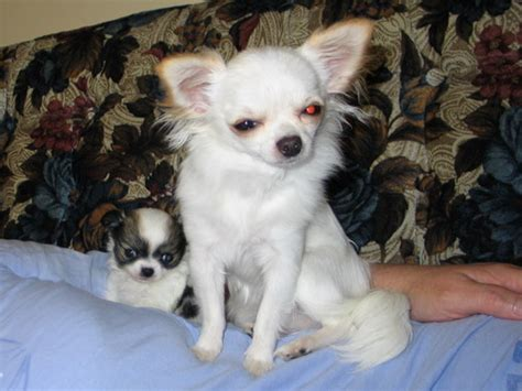 coat chihuahua puppies chihuahuas for sale teacup chihuahua puppies haired chihuahuas summer