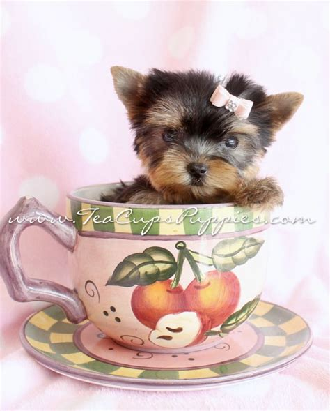 yorkie in a teacup yorkie in a teacup yorkie pups yorkie puppies for