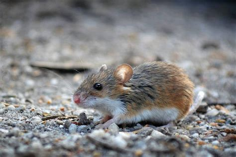 african pygmy mouse wikipedia