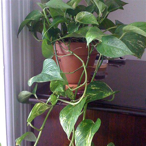 Incroyable Plante Grimpante Interieur Ombre #3: Pothos-plante-grimpante-carre