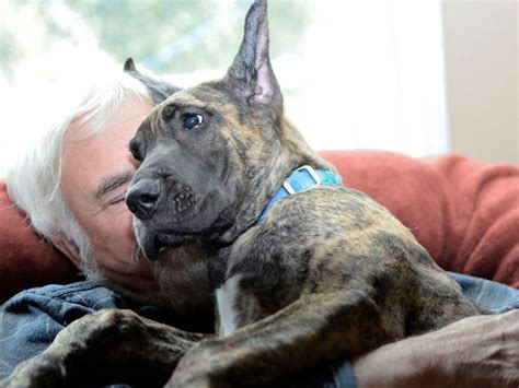 great dane puppies for sale in ma great danes puppy photo breeds picture