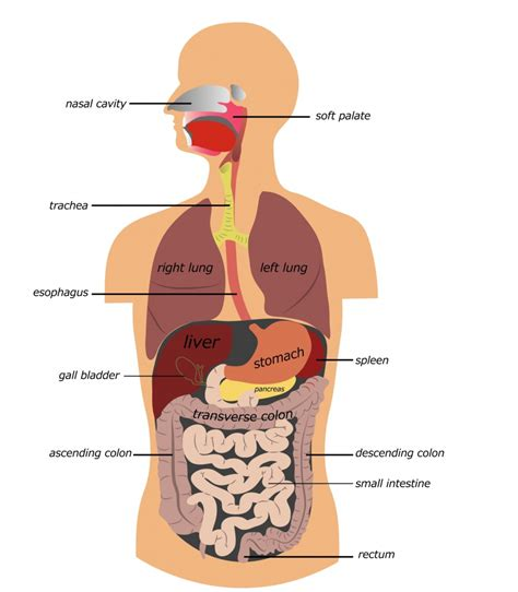 human diagrams to label human digestive system picture with label anatomy human