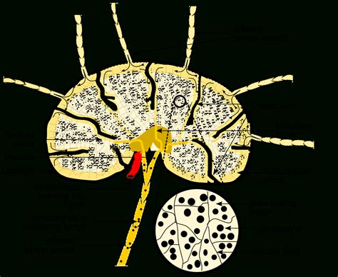 lymph node wikipedia swollen glands in groin male lymphatic drainage anatomy body list