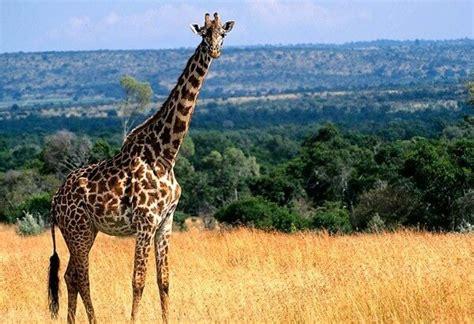 imagenes de jirafas comiendo hojas que comen las jirafas donde viven como nacen