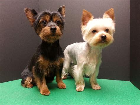 grooming cuts for morkies yorkie grooming yorkshire terriers cute yorkie couple