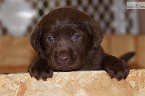 lab puppies for sale in montana labrador retriever puppy for sale near missoula montana 3cb9afea ec91