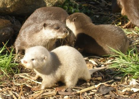 extremely rare white otter cubs zooborns