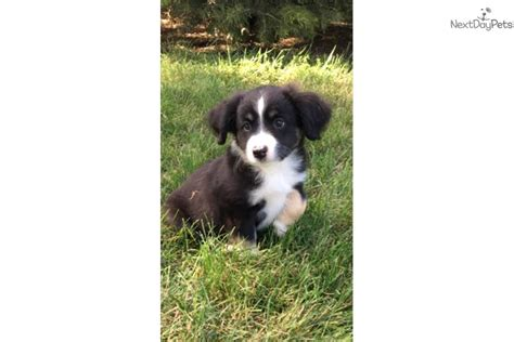 australian shepherd puppies for sale in iowa jasper miniature australian shepherd puppy for sale near fort dodge iowa 956571ce be11