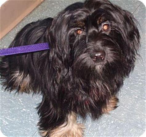 shih tzu rescue orlando orlando fl shih tzu dachshund mix meet meg a puppy for adoption