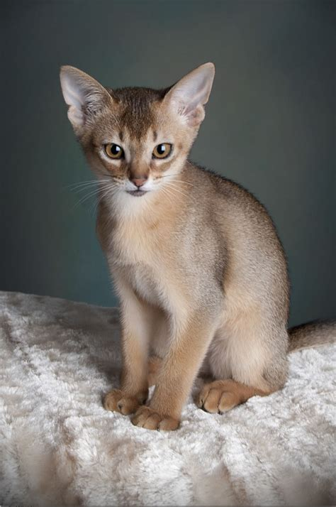 cat breed abyssinian cat breed information pet365