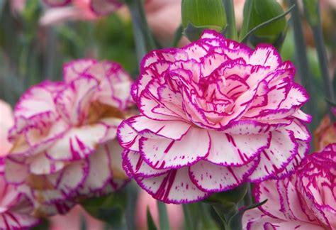 garofani in vaso garofani dianthus caryophyllus dianthus caryophyllus