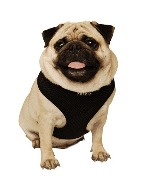 soft pug puppia soft harness care 4 dogs on the go