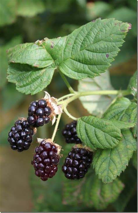 themes of blackberry picking 17 best images about fruit fruit on porcelain on