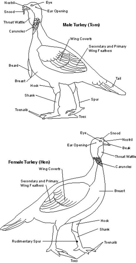 how to tell male or female wild turkey designeranimals wild turkey modern animal