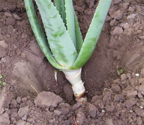 do aloe plants need sunlight plants