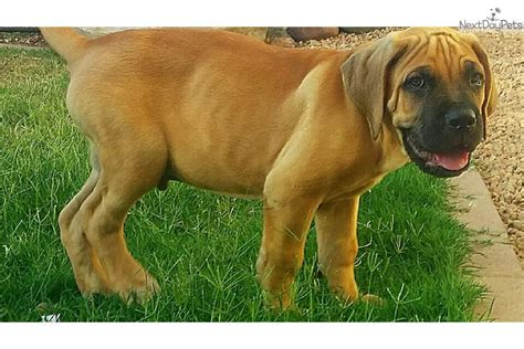 corso puppies for sale az corso mastiff puppy for sale near arizona c0a1f696 8071