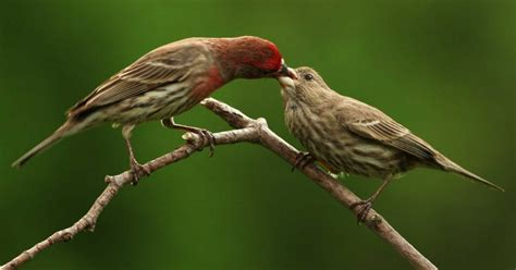 when do house finches lay eggs wild birds unlimited what birds do if their eggs are destroyed