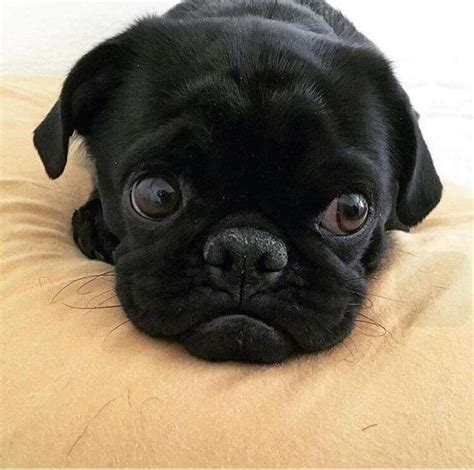 precious pugs 9360 best images about precious pugs on pug brindle pug and pug