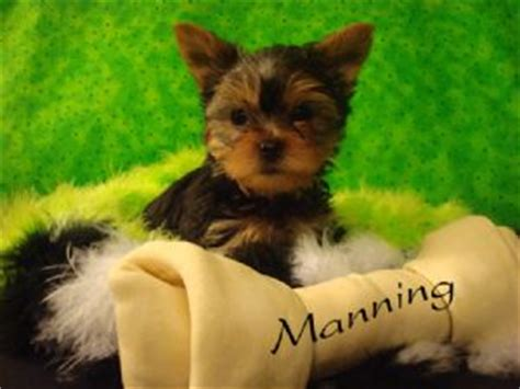 puppies for sale san angelo tx terrier puppies in